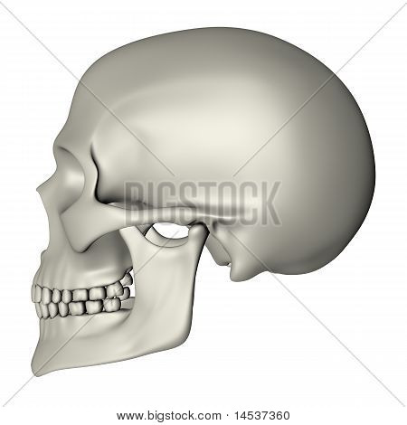 Human Skull - Side View