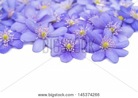 Hepatica nobilis blue flower on a white background