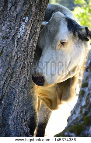 hide and seek, cow, animal beauty, wild life