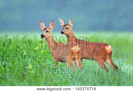 Two roe deer (Capreolus capreolus) cubs in a field
