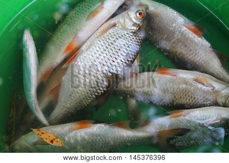 common rudd freshwater river fish, food background