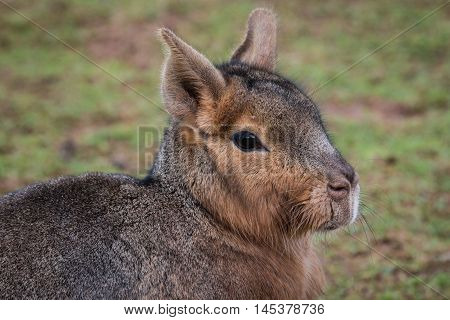 A close up of a patagonian mara. The Patagonian mara  Dolichotis patagonum, is a relatively large rodent in the mara genus and is also known as the Patagonian cavy, Patagonian hare or dillaby poster