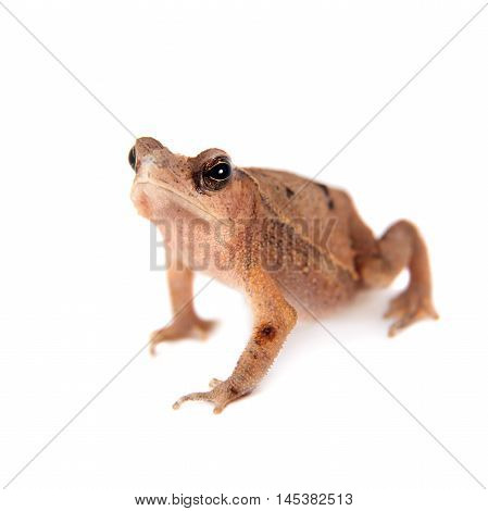 Beauty toad, bufo sp, isolated on white background