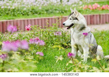Husky dog sit on green grassy lawn in summer park.