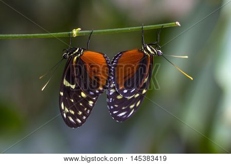 Tropical Butterfly Dido Longwing Wildlife Impression Exotic