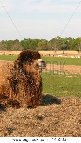 a camel sits in the sun covered with his lunch of hay poster