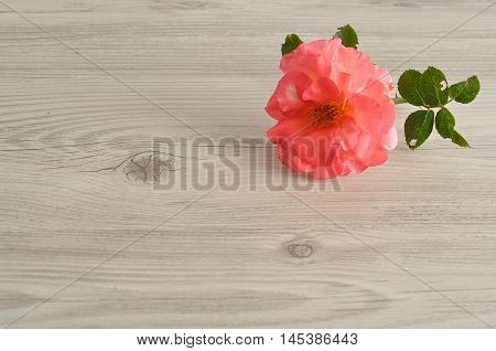 A single rose on a wooden background