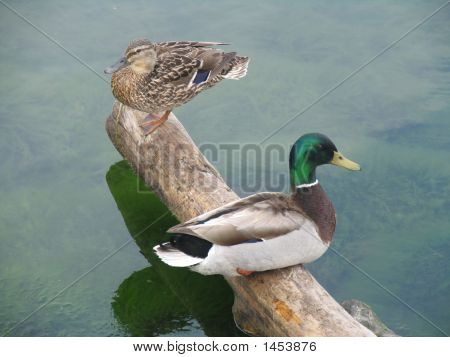 two ducks sitting on a log over a lake poster