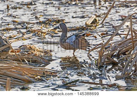 Blue-Winged Teal in a Wetland near Port Aransas Texas poster