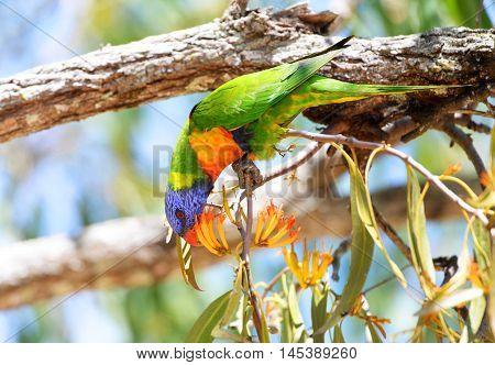 Rainbow Lorikeet Eating Flowers, in Queensland, Australia