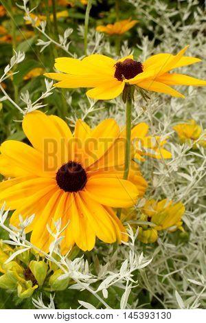 Black Eyed Susans blooming in a garden