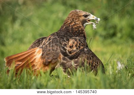 Close up image of a red tailed hawk, Buteo jamaicensis,  on the ground with wings spread covering its meal of a pigeon. Showing feathers around its beak, in America it is also known as a Chickenhawk