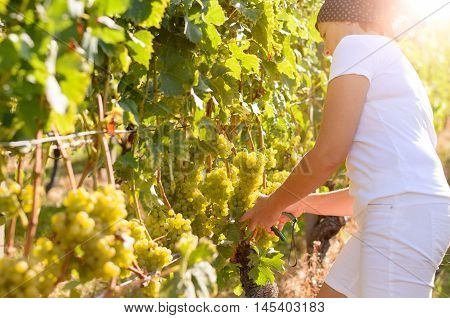 Woman Tending To Bunches Of Grapes In A Vineyard