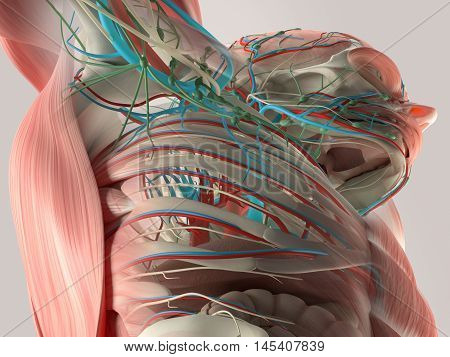 Human anatomy detail arm pit, chest and shoulder. Bone structure, muscle, arteries. On plain studio background. Professional lighting. 3d illustration