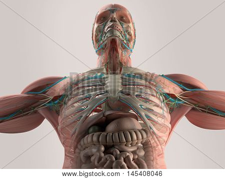 Human anatomy chest from low angle. Bone structure. Veins.  On plain studio background. augmented reality. 3d illustration