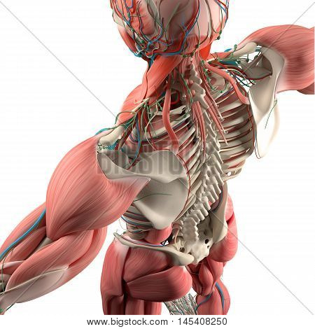 Human anatomy, back,torso, skeleton,muscle. High angle. On white studio background. augmented reality medical education. 3d illustration