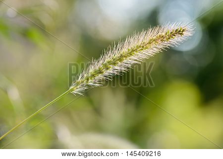 Setaria Viridis Growing In The Meadow