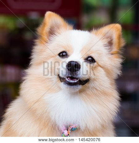 Pomeranian Chihuahua mix dog with brown Sarawasi standing looking forward.