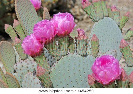 Desert Prickly Paer Flower Cactus