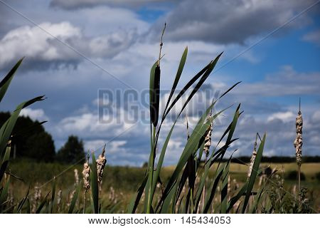 Reeds in inclement weather in the wind