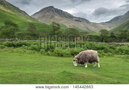 Ram grazing in the valley of Mosedale at Wasdale Head in the English Lake District.  Great Gable mountain is in the background.