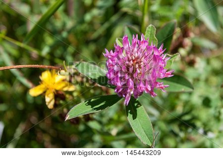 Close-up view of a red clover trifolium pratense . Karpaty, Ukraine