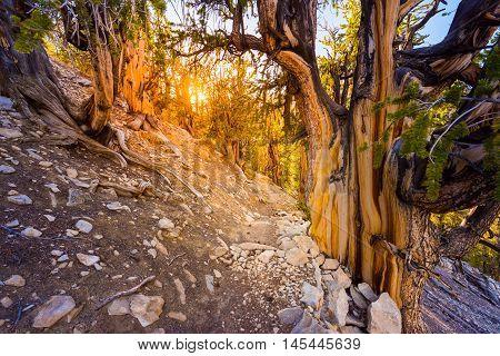 Oldest Trees On Earth California