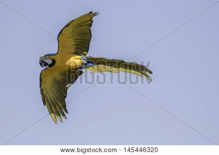 Blue and gold (yellow) macaw (Ara ararauna) in flight against blue sky