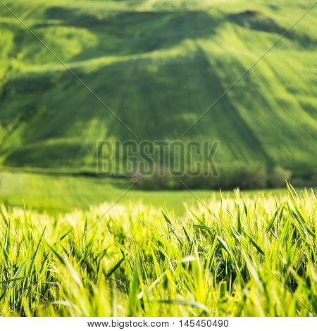 beauttiful landscape of green wheat field and sun