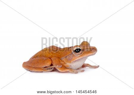 The golden tree frog, polypedates leucomystax, isolated on white background