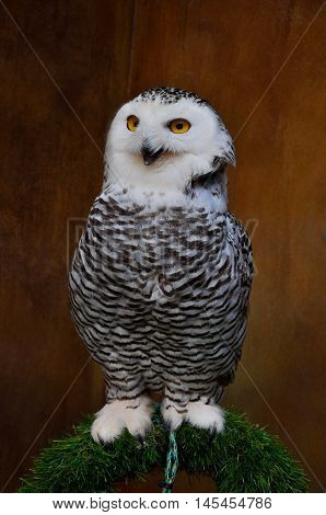 A standing Snowy Owl or Bubo Scandiacus