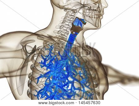 Human bronchi and trachea, xray. 3d illustration