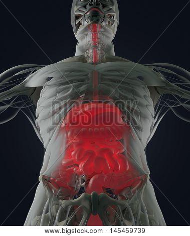 Digestive system, human anatomy, xray like futuristic scan. 3d illustration. poster