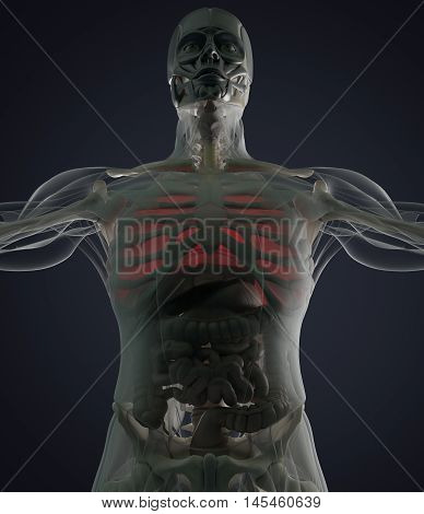 Human anatomy lungs. Lung disease or pain. Futuristic scan. Xray like view. 3d illustration.
