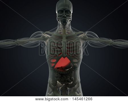 Human anatomy liver. Xray like view, futuristic scan. 3d illustration.
