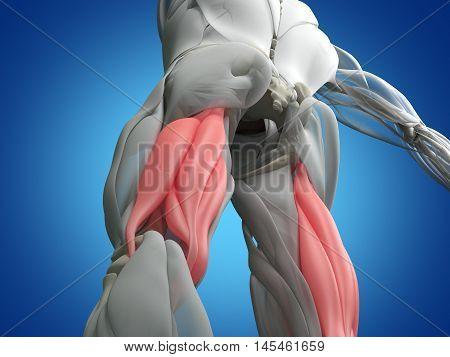 Hamstring muscle group, human anatomy muscle system. 3d illustration. poster