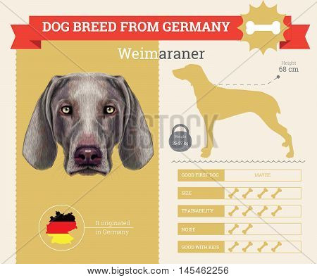 Weimaraner dog breed vector infographics. This dog breed from German