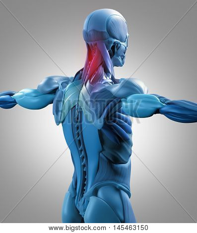 Human anatomy muscle groups, torso back, neck pain. 3d illustration.