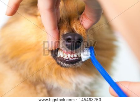 brush teeth on a Shetland Sheepdog with toothbrush