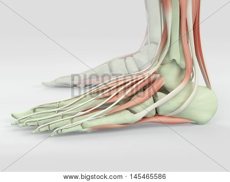 Human anatomy foot muscles and bones. 3D Illustration.