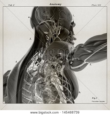 Human anatomy. 3D illustration. Torso, shoulder, muscular and vascular system. Dissected layers.