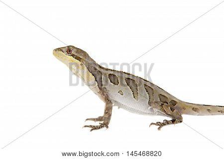 Brasilian tree lizard, Enyalius bilineatus, isolated on white background