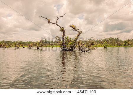Mangroves Forest In Amazonian Rainforest South America