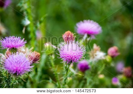 Field with Silybum marianum (Milk Thistle) Medical plants.
