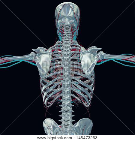 Human skeleton isolated with arteries, vascular system. 3D Illustration.