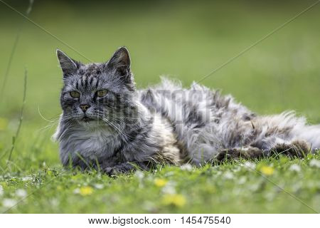 Domestic long-haired cat (this one is actually semi-feral) laying on a garden lawn.