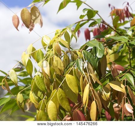 Colorful Spring Foliage on Australian Lilly Pilly Syzygium cascade
