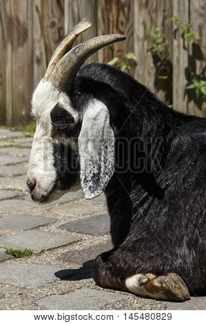 Pygmy goat in the Munich zoo (Tierpark Hellabrunn)