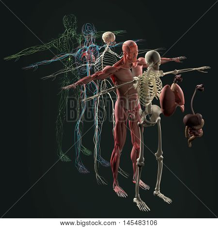 Human anatomy exploded view, deconstructed layers. Separate elements muscle, bone, organs, nervous system, lymphatic system, vascular system. Vibrant colors. 3d illustration