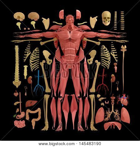 Human anatomy flat lay illustration of body parts. Exploded view, deconstructed layers dissected. 3d illustration